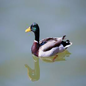 Duck on the water, Multi colored, Black,Green,Grey,and Brown.