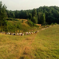 Image of a line of Goats in the C&L Farm field.