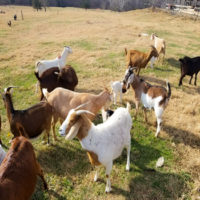 Gathering of Goats in a farm field.