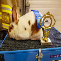Mostly white with black spots Rabbit sitting atop a tool chest with a blue first place Ribbon, and Trophy.